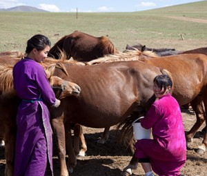 Women milk horses in Tuv Aimag, Mongolia. Photo by Gregory Gray.